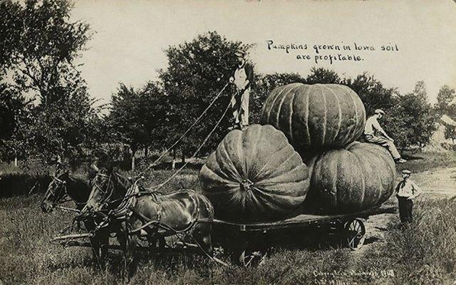 Гигантские тыковы, выращенные в почве Айовы
