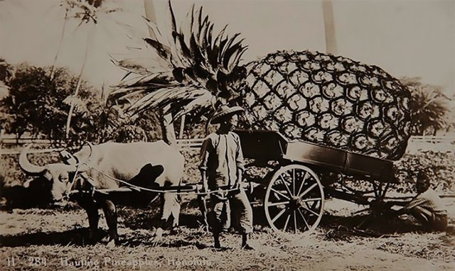 Перевозка ананасов, Гонолулу