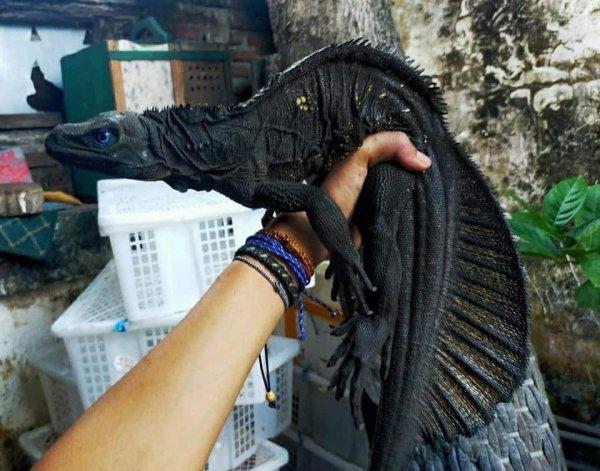 Филиппинский гидрозавр, «парусная ящерица»