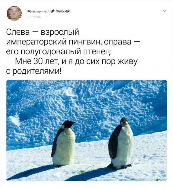 твит про императорского пингвина