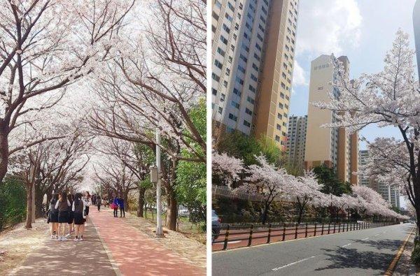 Сакурой наслаждаются не только в Японии