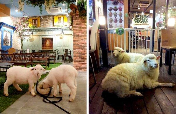 А можно поесть и в компании милых овечек