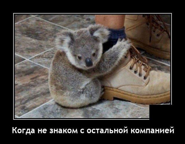 Демотиватор про коалу