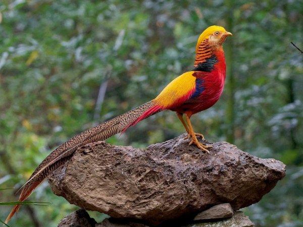 Так выглядит золотой фазан