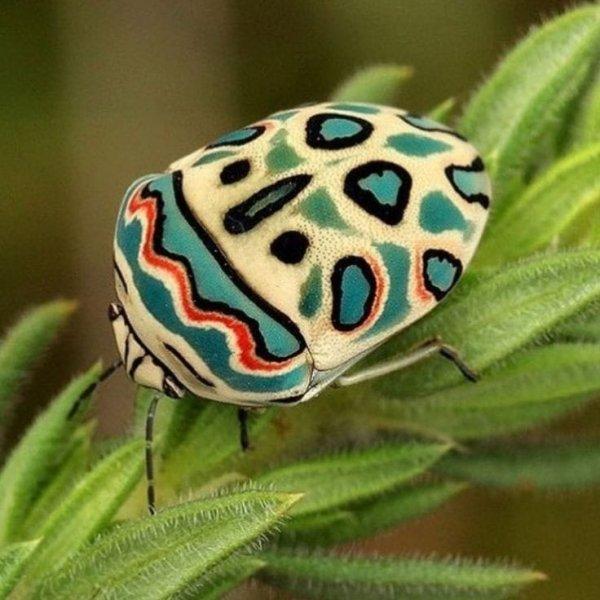 Так выглядит реально существующий жук Пикассо