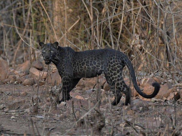 Очень редкий чёрный леопард