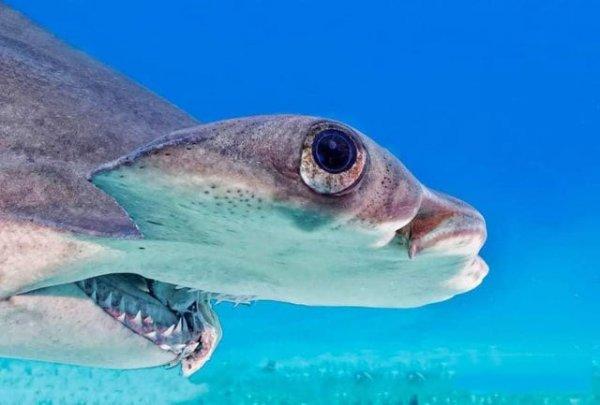 Как выглядит акула-молот, если сфотографировать её в профиль