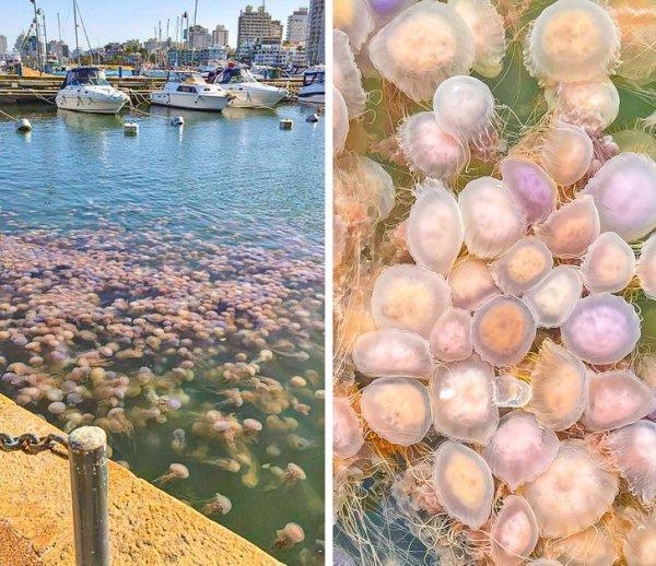 Нашествие розовых медуз в порту Пунта-дель-Эсте, Уругвай