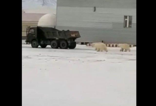 Попытка угона КамАЗ-а в исполнении белых медведей