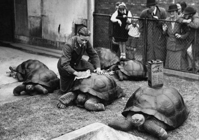 Чистка черепашьих панцирей в зоопарке Лондона, 1930-е.