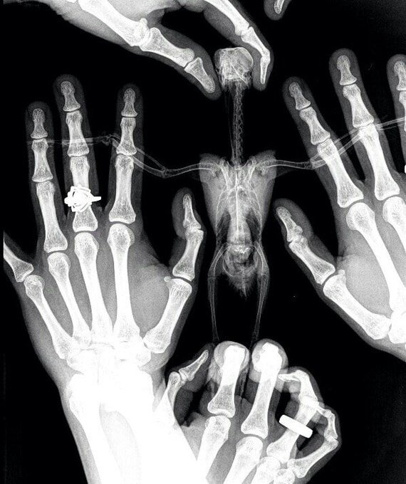 Для тех, кто не видел птичий рентген