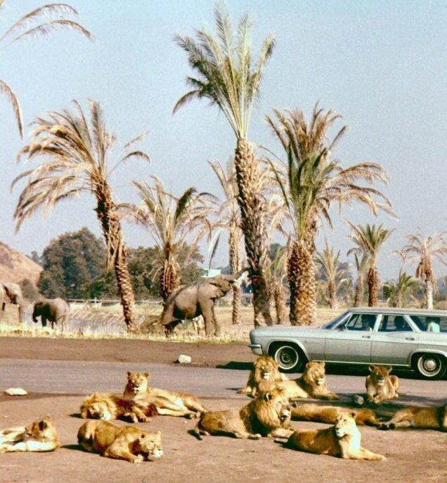 Сафари-парк в Ирвайне, Калифорния, 1971 год.