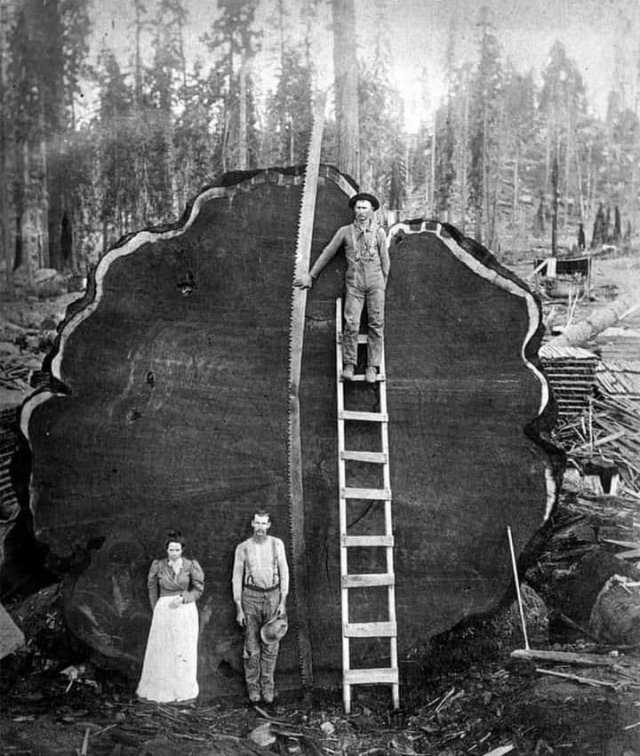 Гигантская секвойя. 1910 г