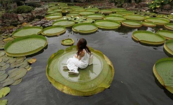 Виктория амазонская — национальный цветок Гайаны