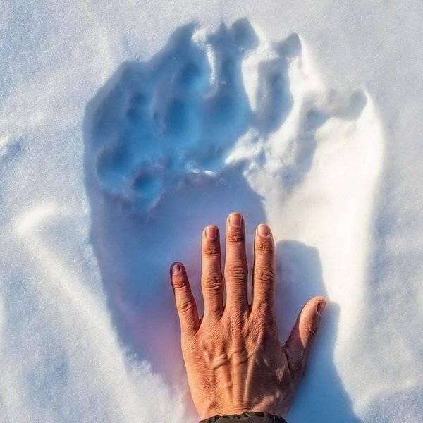Рука человека и след полярного медведя на снегу