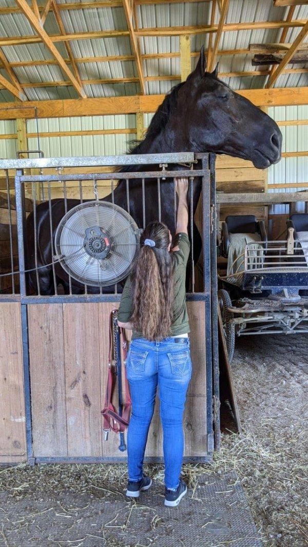 Лошадь породы Першерон и девушка с ростом 165 см