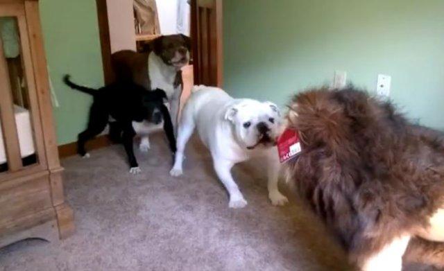 Знакомство грозных псов с игрушкой