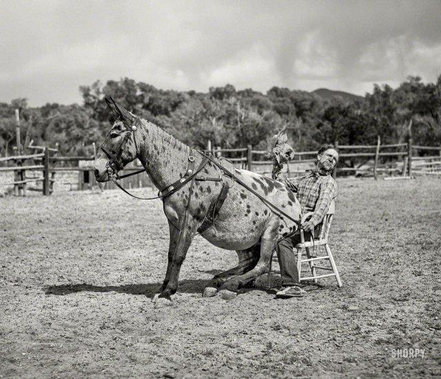 Мул и его хозяин развлекают публику на родео в Квемадо, Нью-Мексико, июнь 1940 года.