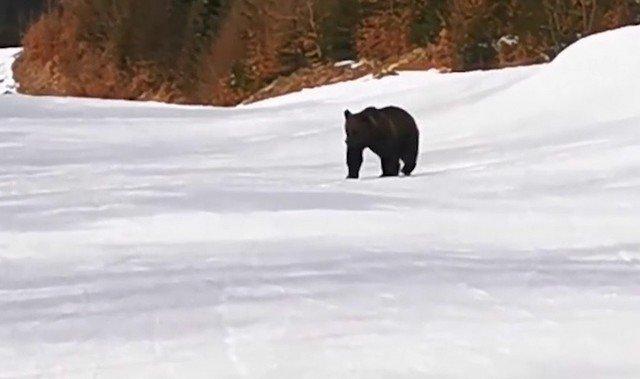 В Румынии на горнолыжном склоне медведь пришел к туристам и погнался за инструктором