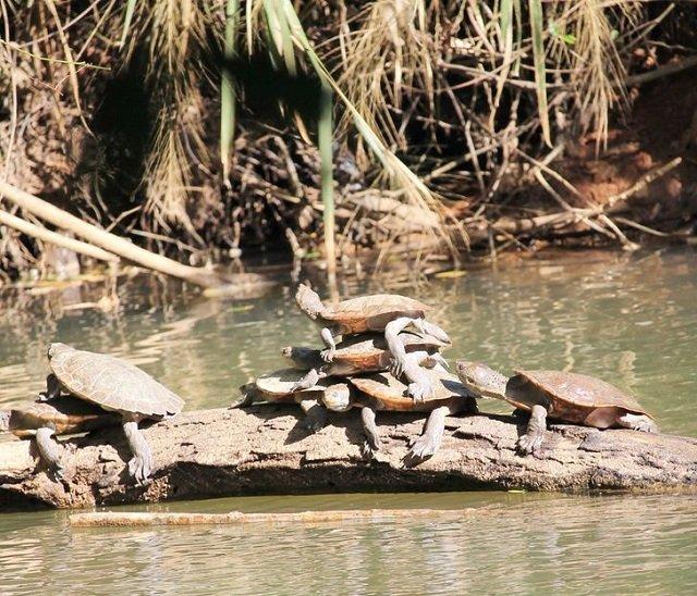 Черепахи-акробаты из Австралии