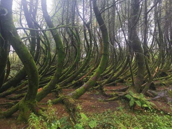 Удивительный изогнутый лес в Южном Уэльсе