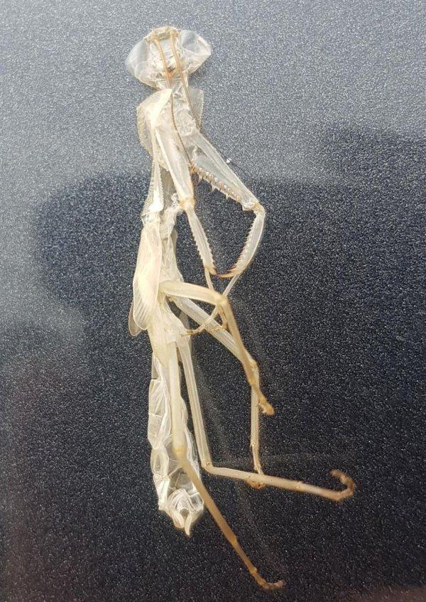 Экзоскелет богомола я нашел на моей машине