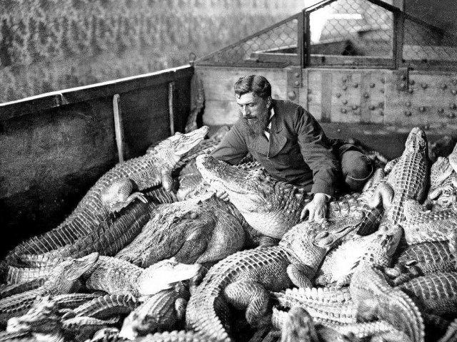 Мужчина среди аллигаторов и кайманов в террариуме. Флоренция, Италия, 1900 год.