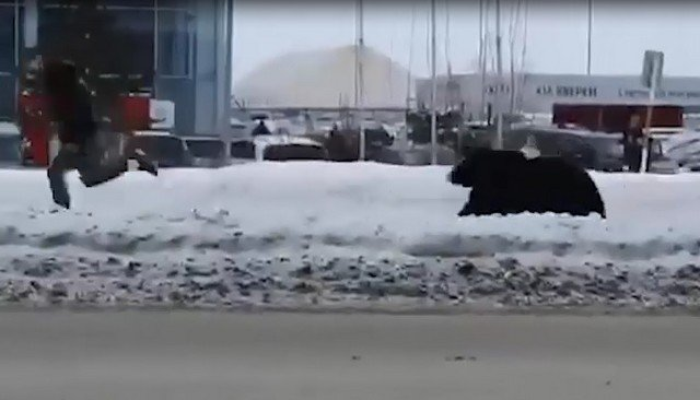 Типичное утро в Нижневартовске: мужчина и медведь