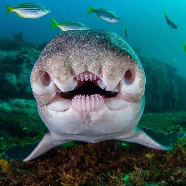 Морда австралийской бычьей акулы