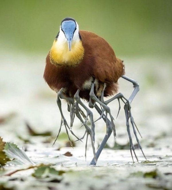 Не пугайтесь — это всего лишь птенцы забрались под крылья к птице под названием якана