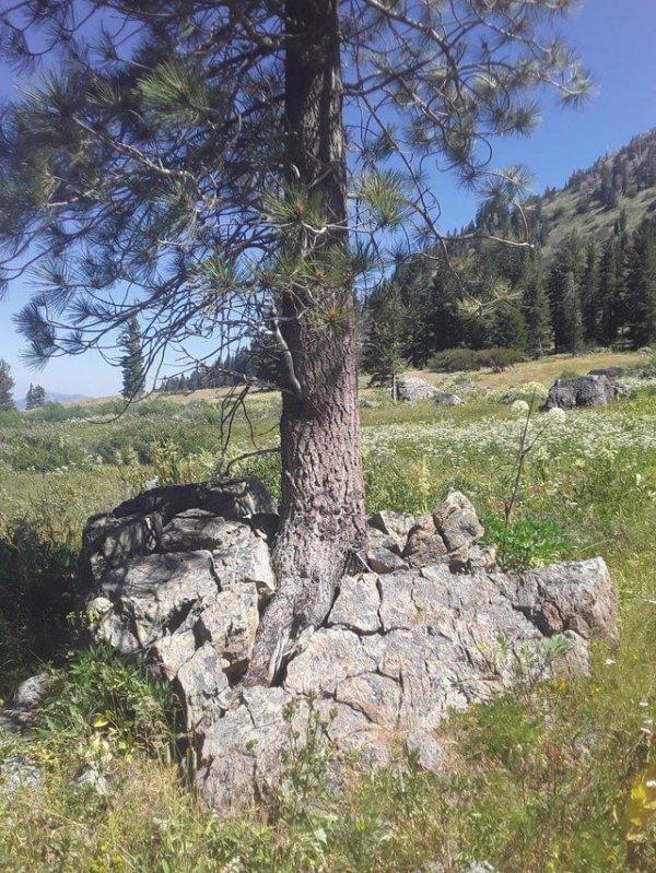 Дерево проросло прямо через камень