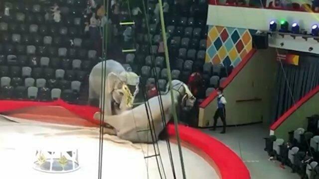 Две слонихи устроили драку на арене цирка в Казани