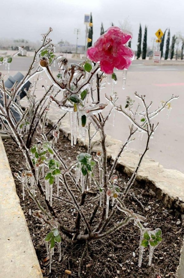 Замороженные цветы после зимнего шторма