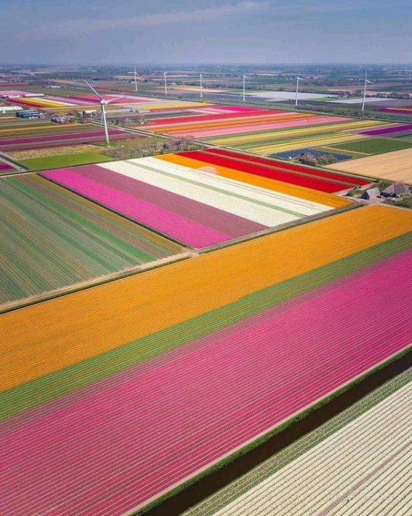 Так выглядят поля тюльпанов в Голландии