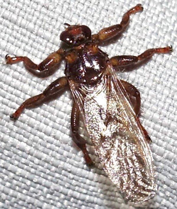 Оленья кровососка — это муха, которую часто путают с клещом, потому что, садясь на кожу, она отбрасывает крылья