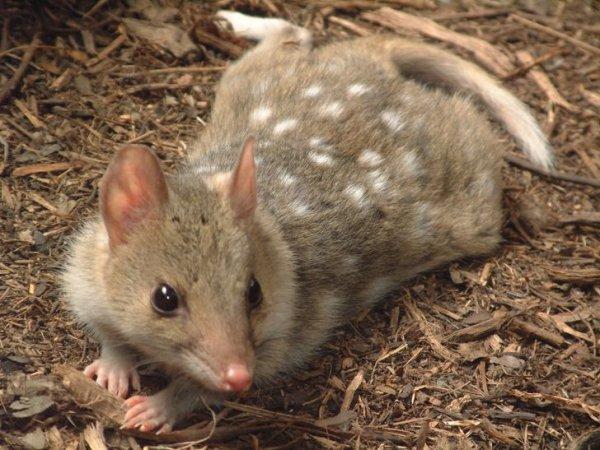Пятнистые сумчатые куницы — ночные хищники, похожие одновременно на куниц и кошек. Они вынашивают детенышей в выводковых сумках