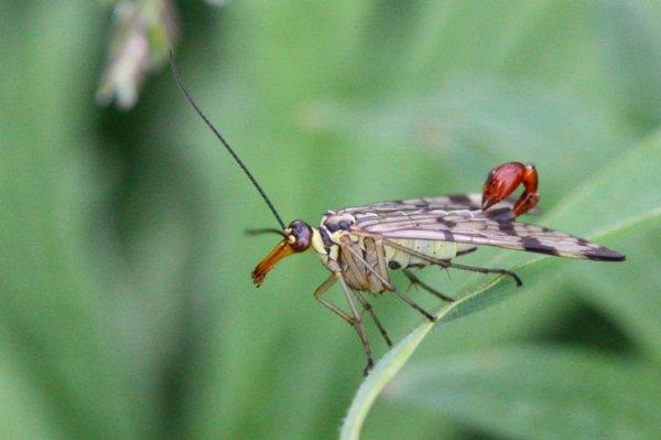 Грозные на вид скорпионовые мухи