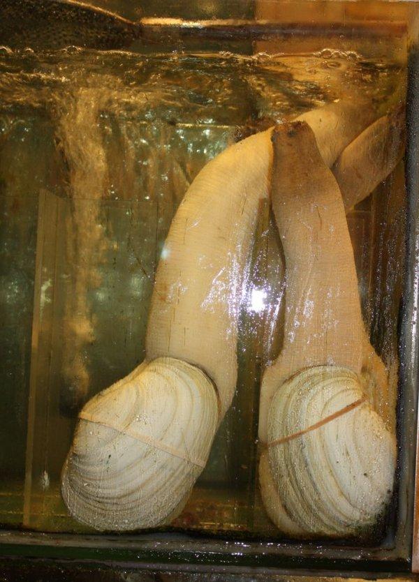 Этот двустворчатый моллюск — гуидак. В среднем такой может жить до 140 лет