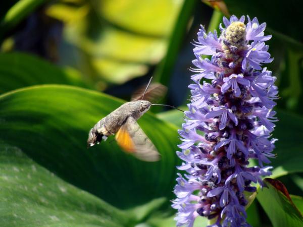 Языкан обыкновенный — бабочка, которая пьет нектар, как колибри