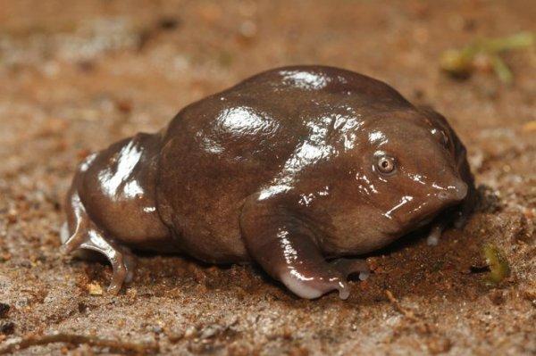 Пурпурная лягушка проводит практически всю жизнь под землей
