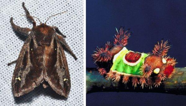 Вот так невзрачно выглядит бабочка семейства слизневидок, а ее гусеница похожа на настоящий карнавал