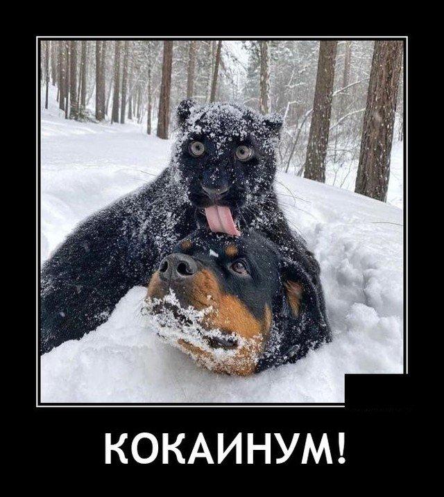 Демотиватор про собаку и пуму