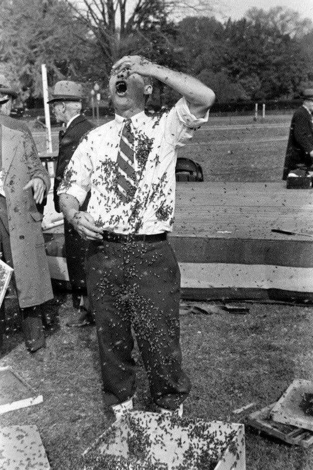 Демонстрация породы пчёл без жала. США, 1939 год.