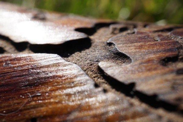 Кора дерева, изъеденная изумрудным ясеневым мотыльком