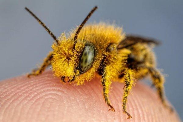 Пчела, покрытая пыльцой