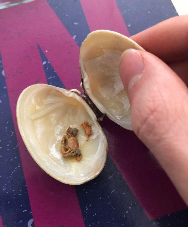 Малыши крабов внутри раковины моллюска