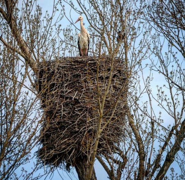 Аист свил не гнездо, а настоящий дворец