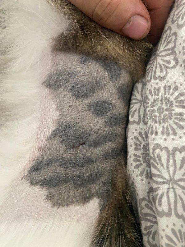 Когда кошке сбрили шерсть на боку для операции, выяснилось, что у неё на коже тоже есть пятна