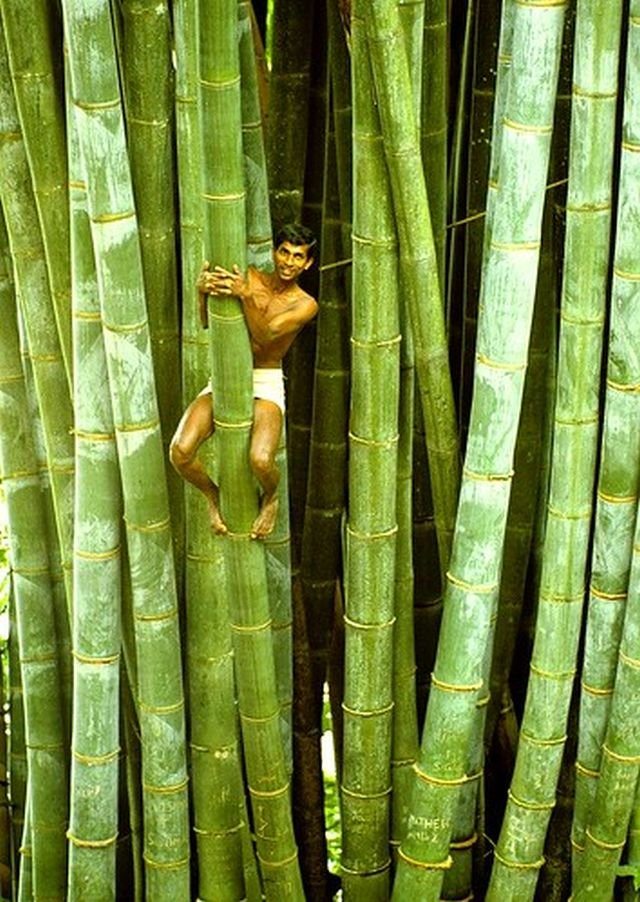 Гигантский бамбук на Шри-Ланке