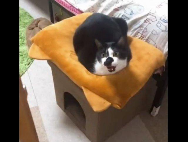 Очень смешной кот, который приветствует всех входящих